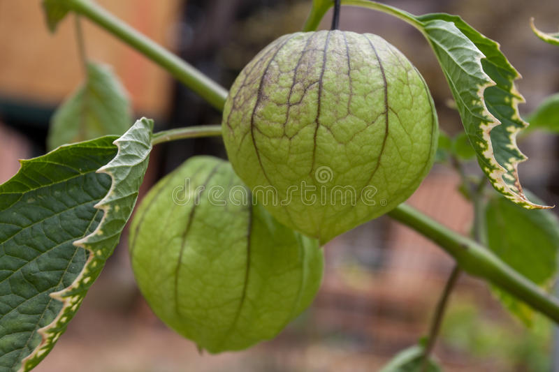 Tomatillo photographie stock