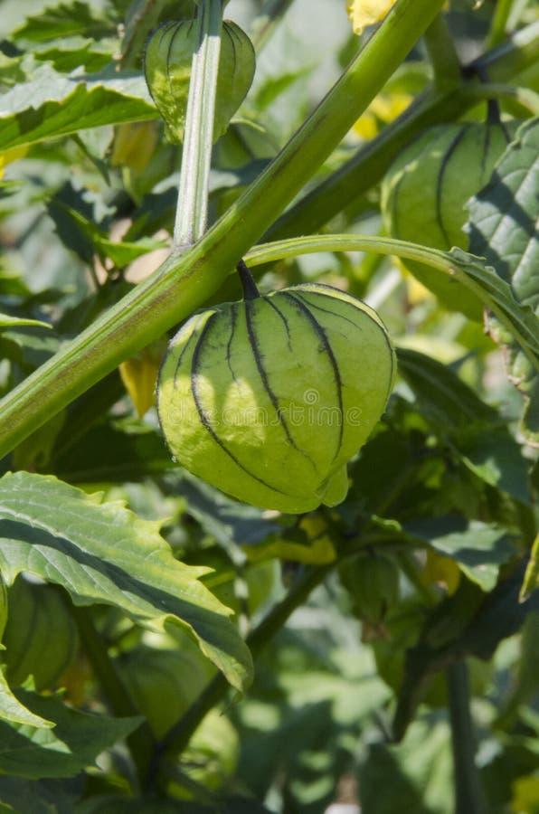 Tomatillos på vinrankan royaltyfri fotografi