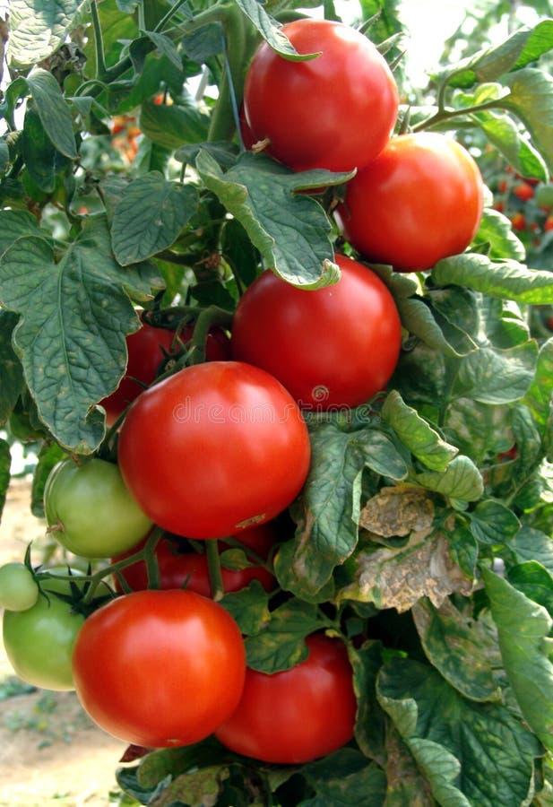 Free Tomato Stock Photography - 10364092