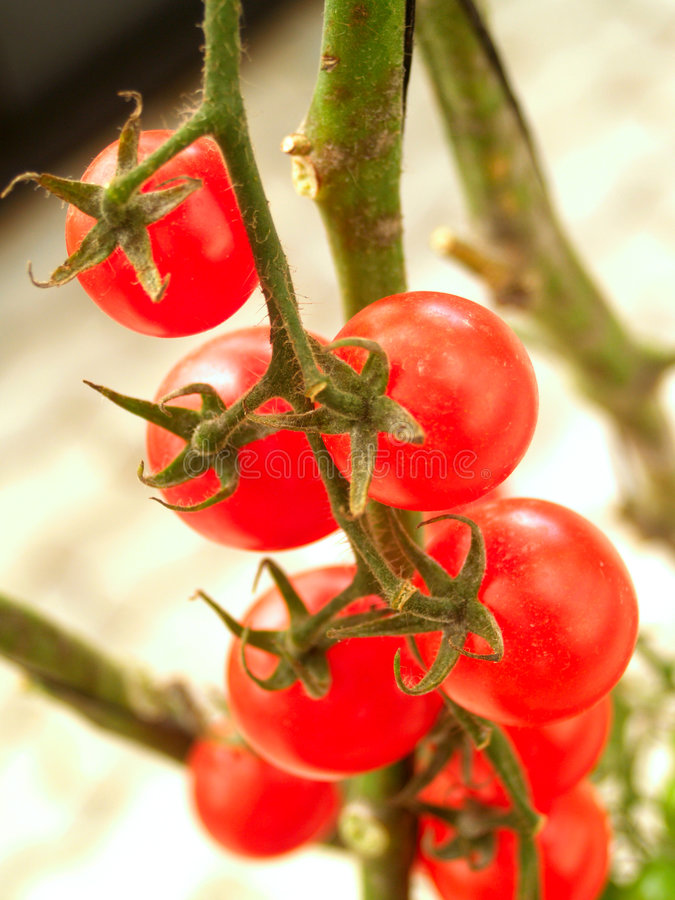 Tomato 14. An image of tomato tree in nature stock images