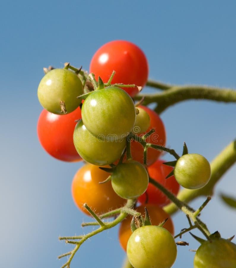 Free Tomato Stock Photos - 15856893