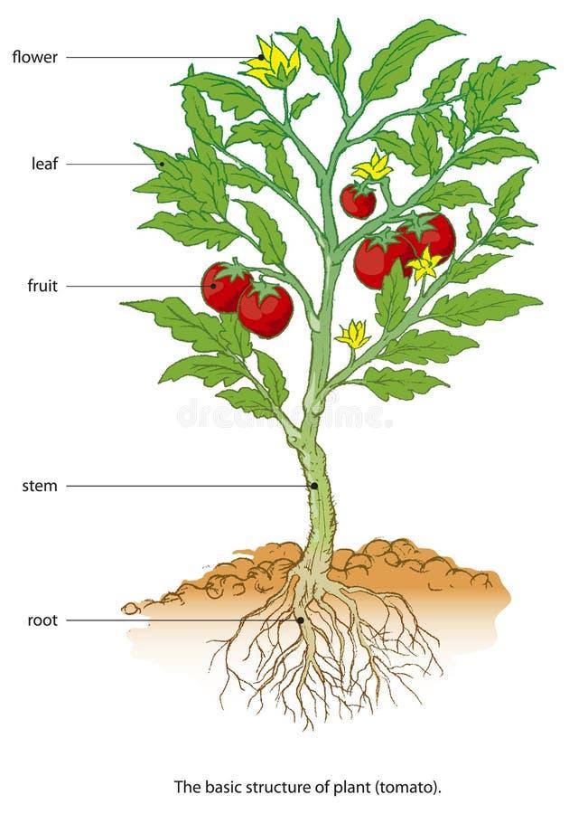 Tomato. Basic structure o the plant (tomato