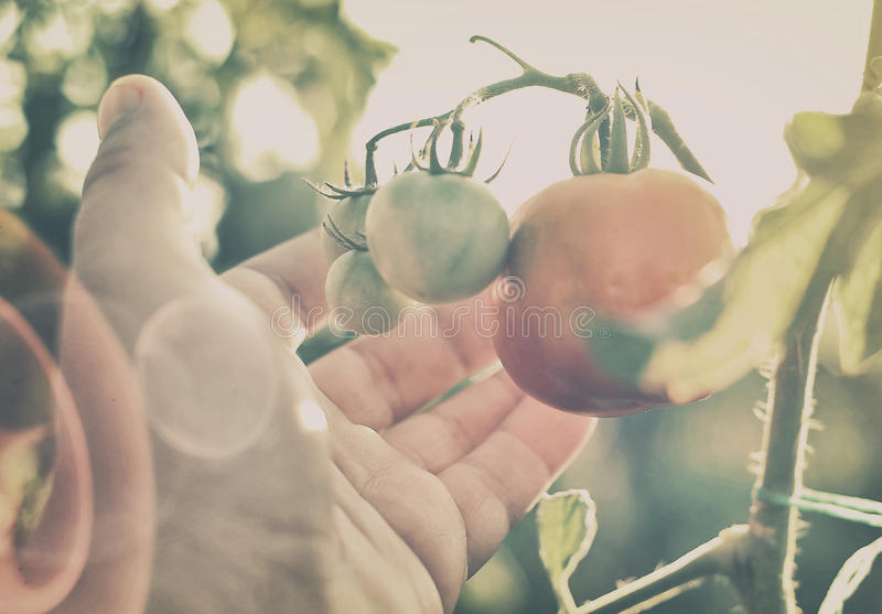 Tomato branch stock images