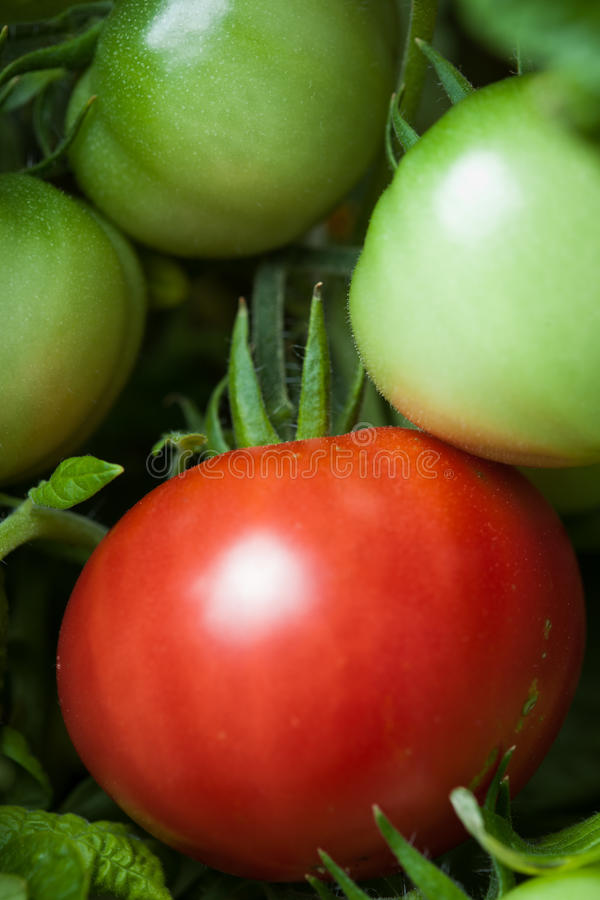 Download Tomato on the bush stock image. Image of greenhouse, collected - 27081323