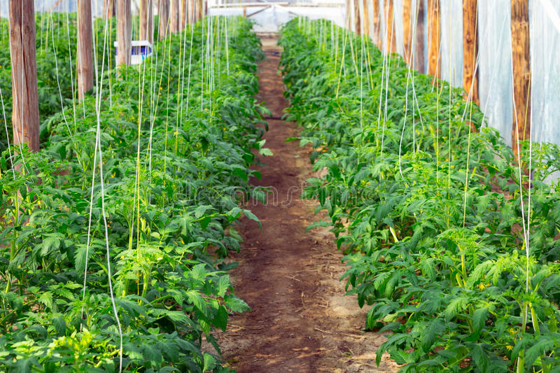 Download Tomato bushes stock image. Image of field, hang, healthy - 31544003