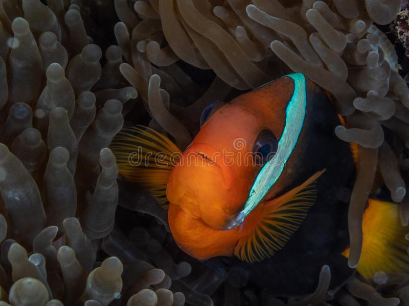 Tomato clownfish, Amphiprion frenatus. North Sulawesi. Tomato clownfish, Amphiprion frenatus, in Anemone home. North Sulawesi, Indonesia royalty free stock photo