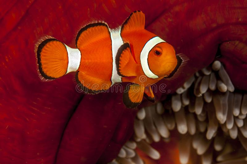 Tomato clownfish,Amphiprion frenatus,. Is a species of marine fish in the family Pomacentridae stock photography