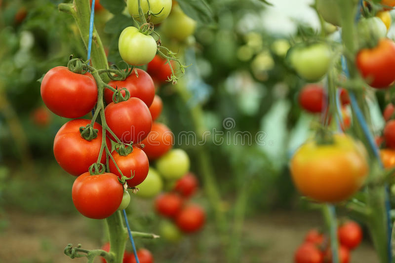 Tomato crop. The growth of tomato plants inside the greenhouse