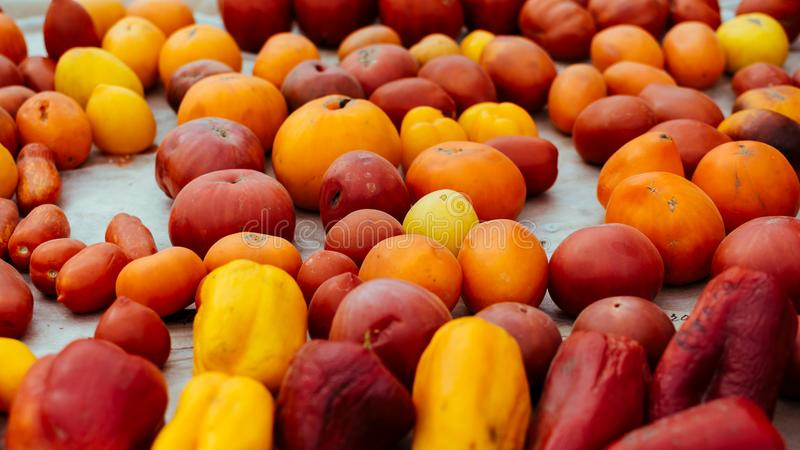 Tomato cultivars. colorful variety of organic tomato. Different varieties of red, orange, yellow tomatoes royalty free stock images
