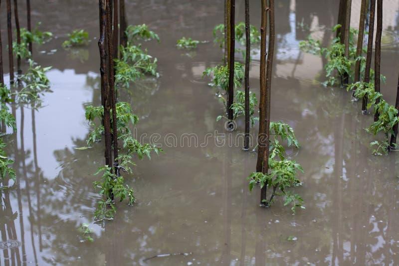 Download Tomato flood stock image. Image of calamity, garden, vegetables - 31594029