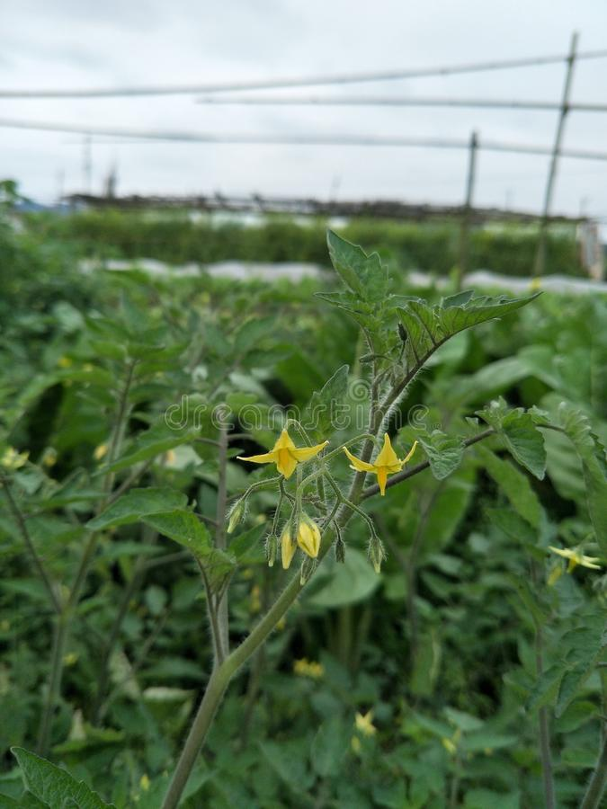 The tomato flower stock photography