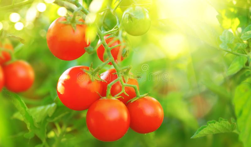 Tomato. Fresh and ripe organic Cherry tomatoes growing in a garden. Tomato hanging on a branch. Agriculture royalty free stock photography