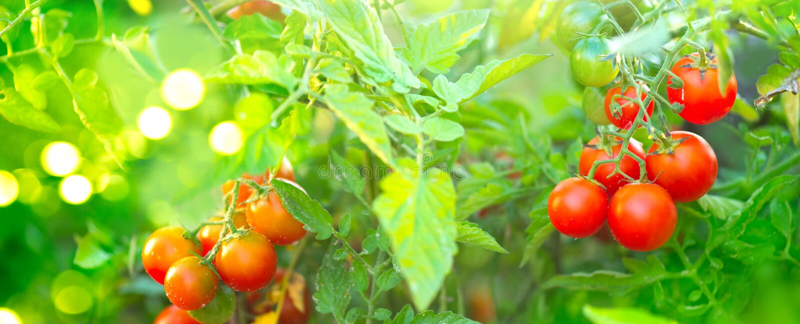 Tomato. Fresh and ripe organic Cherry tomatoes growing in a garden. Tomato hanging on a branch. Agriculture stock image