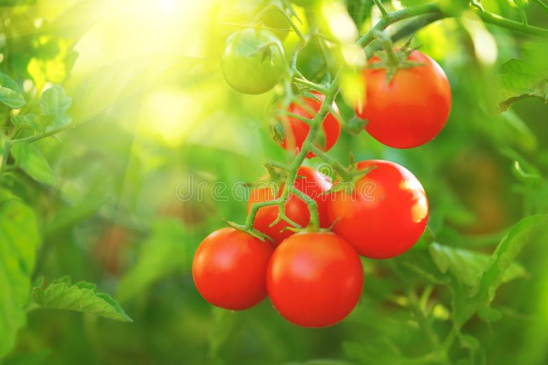 Tomato. Fresh and ripe organic Cherry tomatoes growing in a garden. Tomato hanging on a branch. Agriculture royalty free stock image