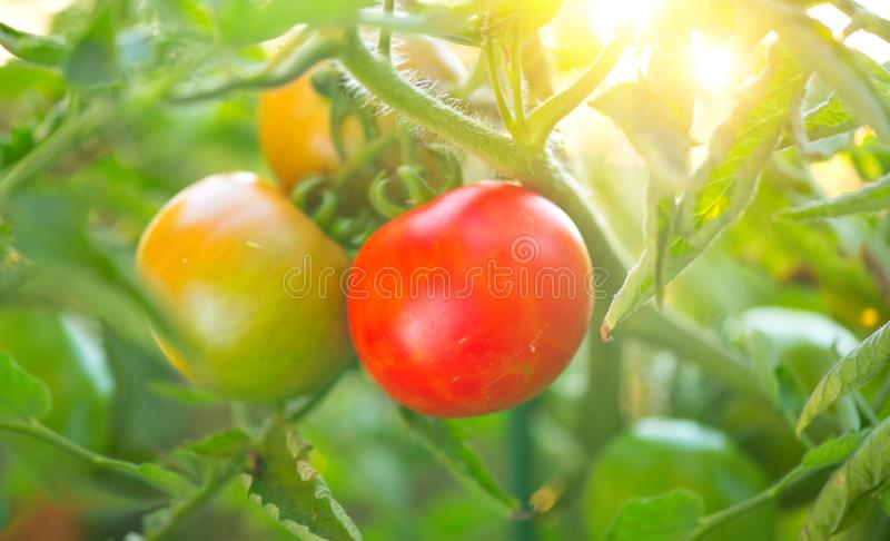 Tomato. Fresh and ripe organic Cherry tomatoes growing in a garden. Tomato hanging on a branch. Agriculture stock photography
