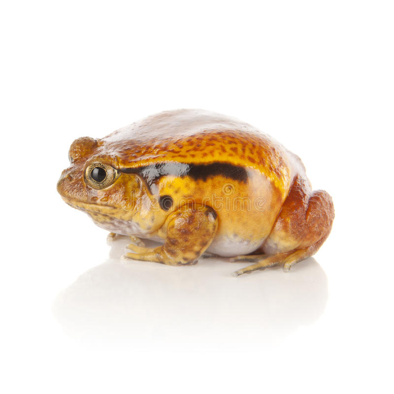 Tomato Frog Stock Photos