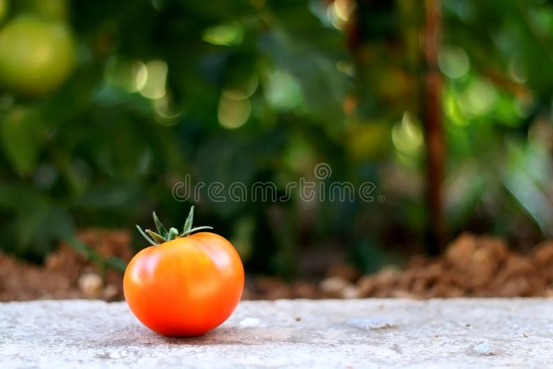 Tomato in the Garden stock photography