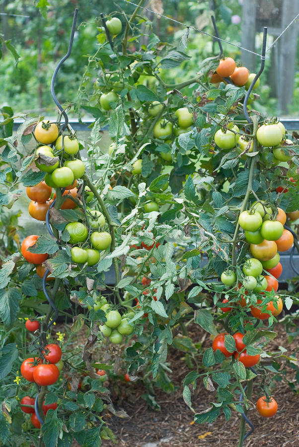 Download Tomato Garden Harvest stock image. Image of cultivation - 21928621