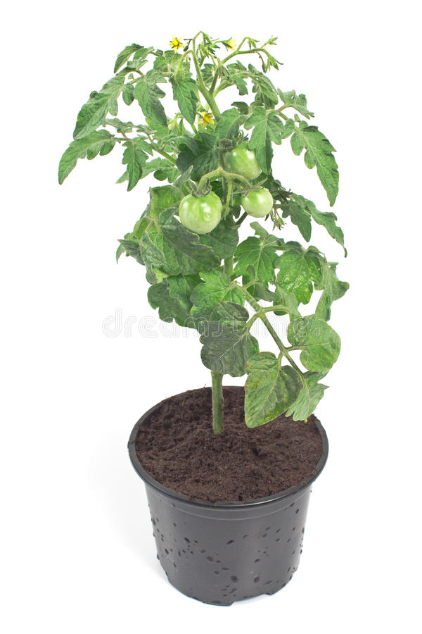 Tomato green plant. Isolated on white royalty free stock photos