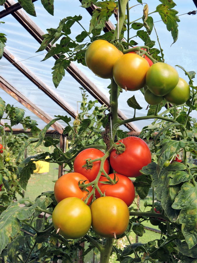 Tomato in greenhouse stock image