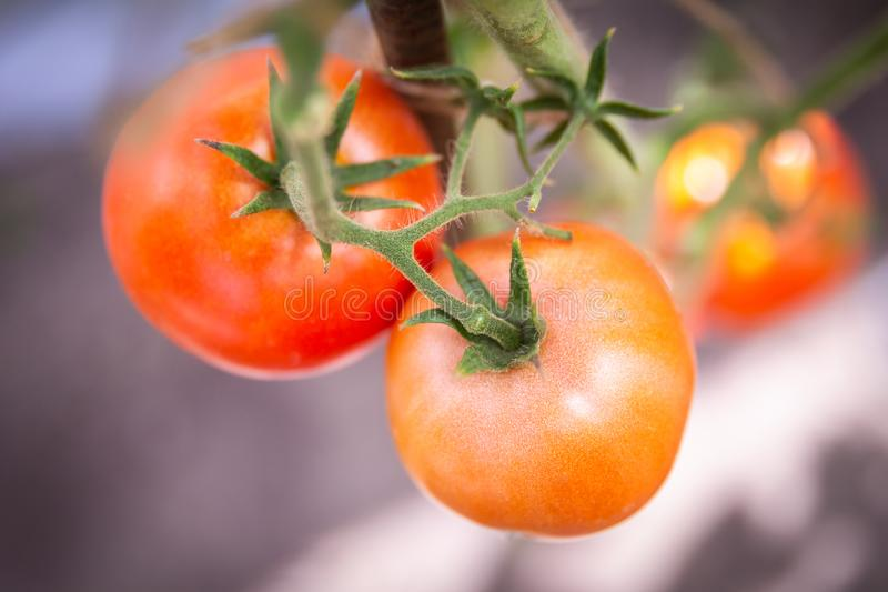 Tomato growing in organic farm. Ripe natural tomatoes growing on a branch in greenhouse royalty free stock images