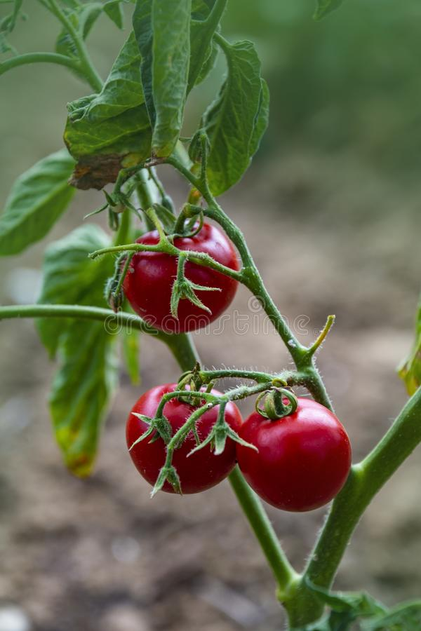 Tomato growing in organic farm. Ripe natural tomatoes growing on a branch in a greenhouse. Red Tomatoes Growing on Plant stock photography