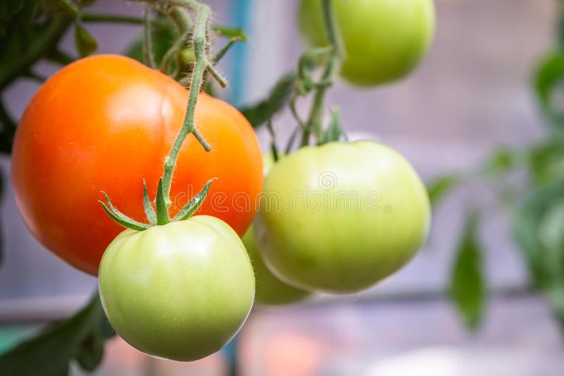 Tomato growing in organic farm. Ripe natural tomatoes growing on a branch in greenhouse royalty free stock photos