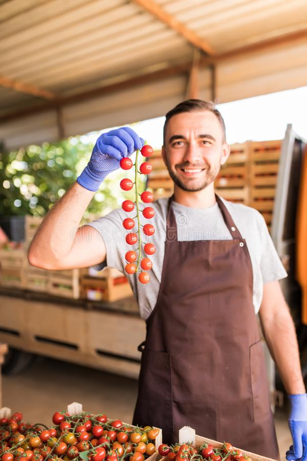 Tomato harvest. Handsome man farmers hands with freshly harvested tomatoes collected for sale. royalty free stock photography
