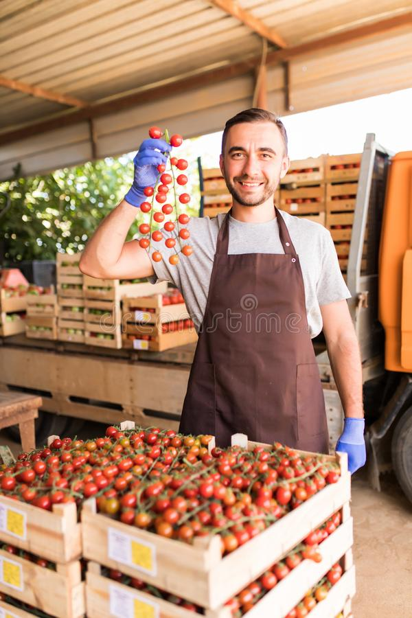 Tomato harvest. Handsome man farmers hands with freshly harvested tomatoes collected for sale. royalty free stock photos