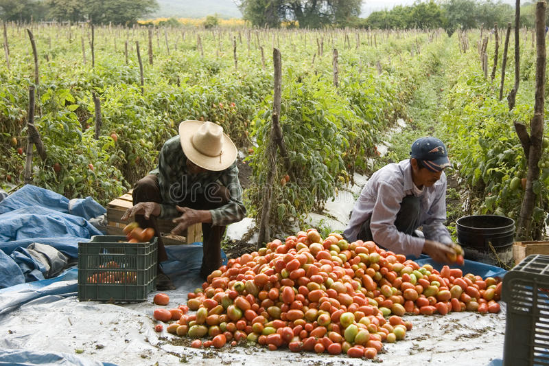 Harvest of tomatoes by Mexican peasants stock photo