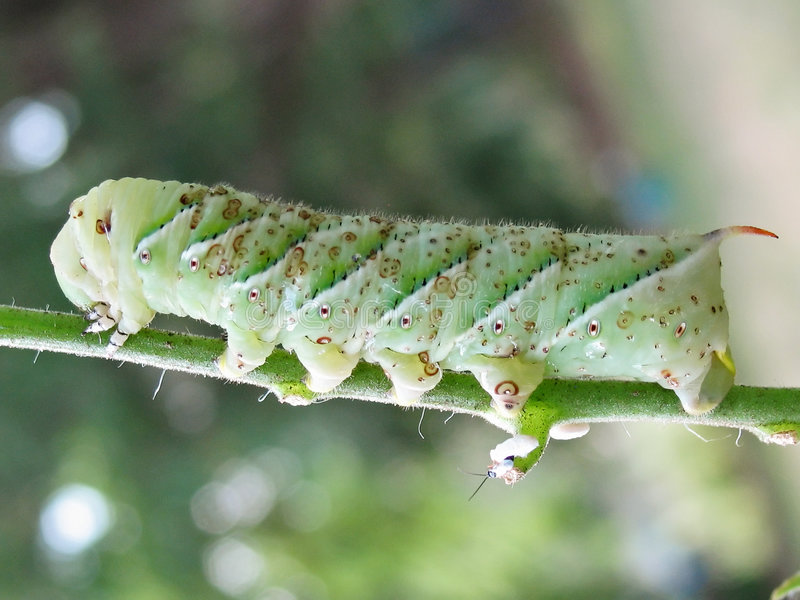 Tomato Horn Worm royalty free stock photography