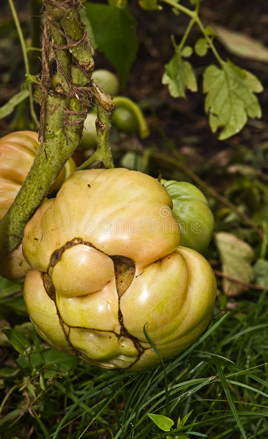 Free Tomato Mutant Royalty Free Stock Photo - 28748795