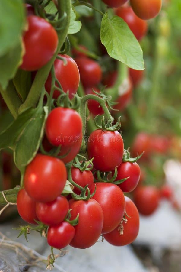 Cluster red ripe tomato fruit crop in a farm. Cluster red ripe tomato fruit crop nearly to harvest in a farm stock photo