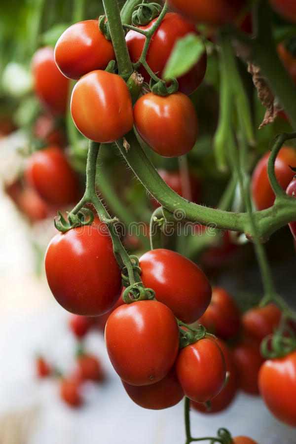 Ripe red organic cluster fruit tomato crop nearly to harvest stock images