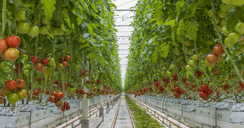 Tomato Nursery. Harmelen, The Netherlands - April 3, 2017: Tomato nursery with red and green tomatoes in a glass greenhouse stock photography