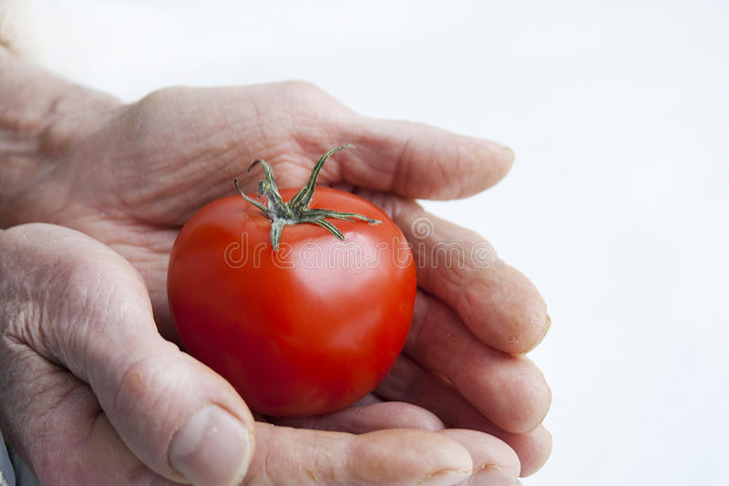 Tomato in old hands royalty free stock photo