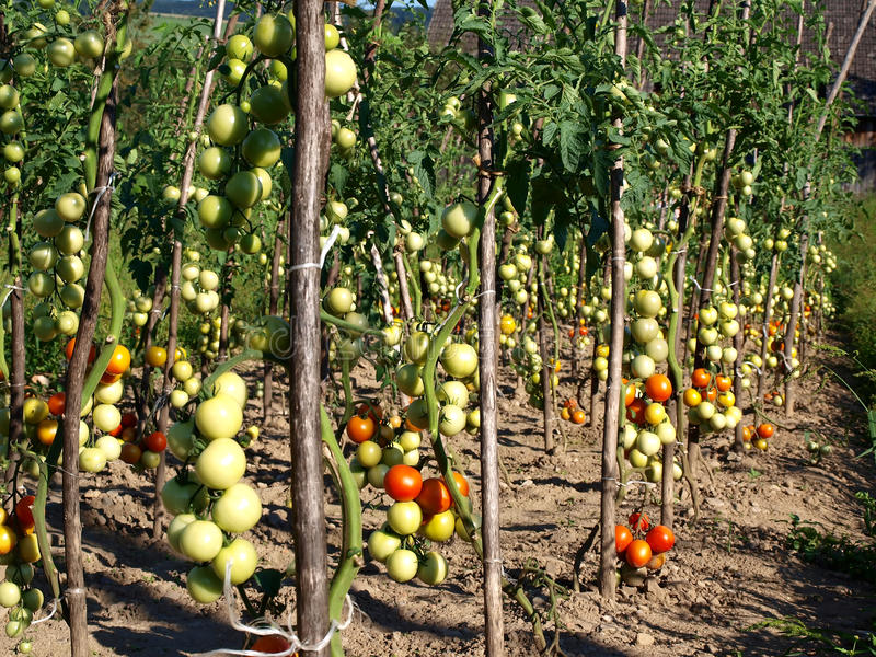 Download Tomato patch stock image. Image of health, eating, ingredients - 18072699