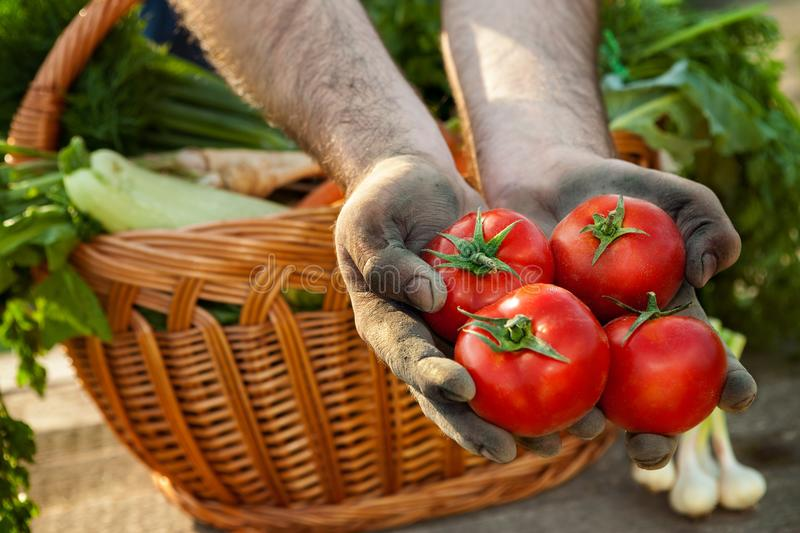 Tomato in dirty farmer hands royalty free stock images