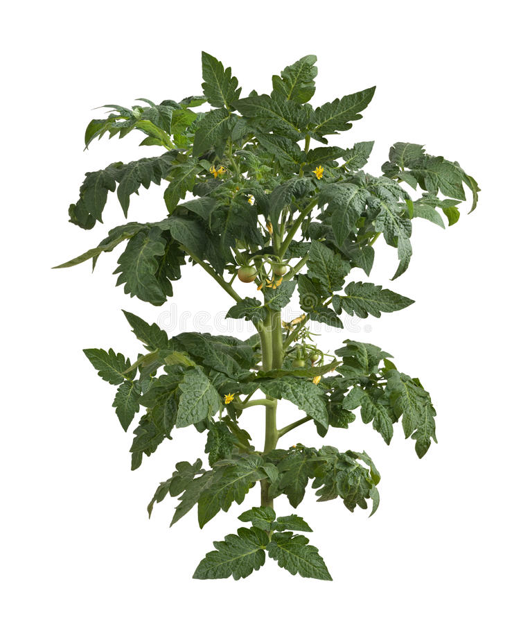 Tomato Plant. Isolated on a white background. Isolation is on a transparent layer in the PNG format stock photo