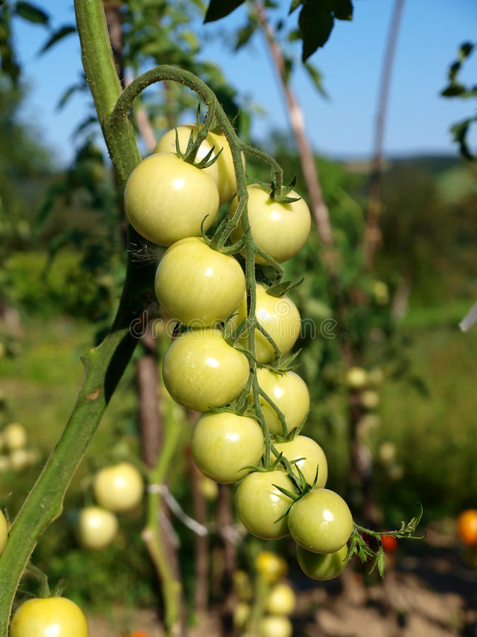 A tomato plant. With cluster of unripe tomatoes stock photos