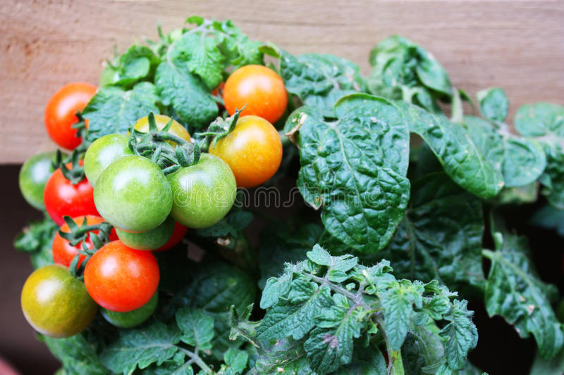 Download Tomato plant stock photo. Image of spring, growth, tomato - 19769776