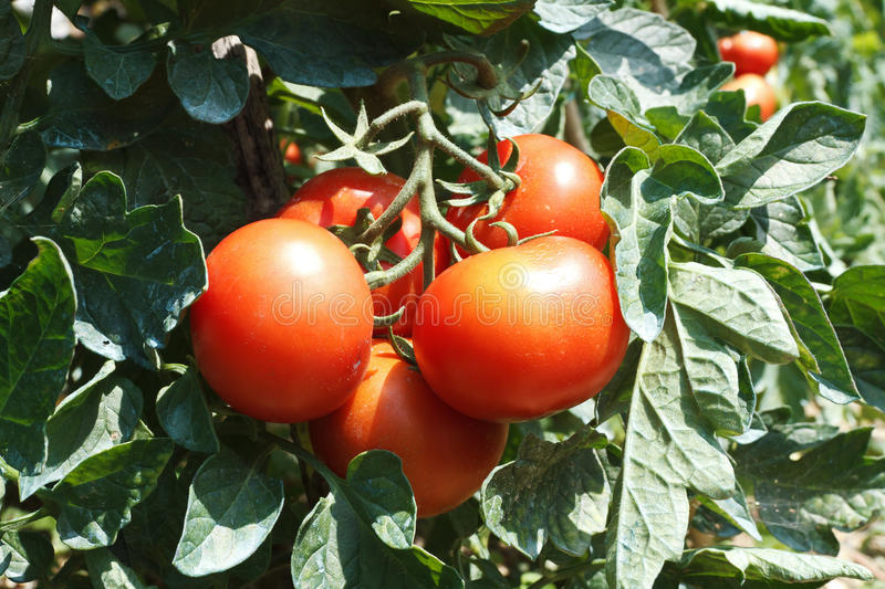Tomato plant. Detail of tomato plant with ripe red fruits royalty free stock photos