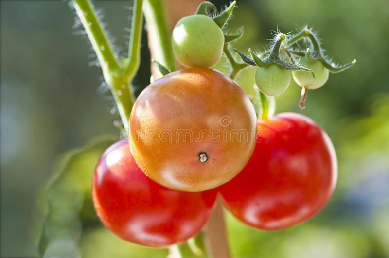 Tomato plant. With ripe and unripe fruits royalty free stock images