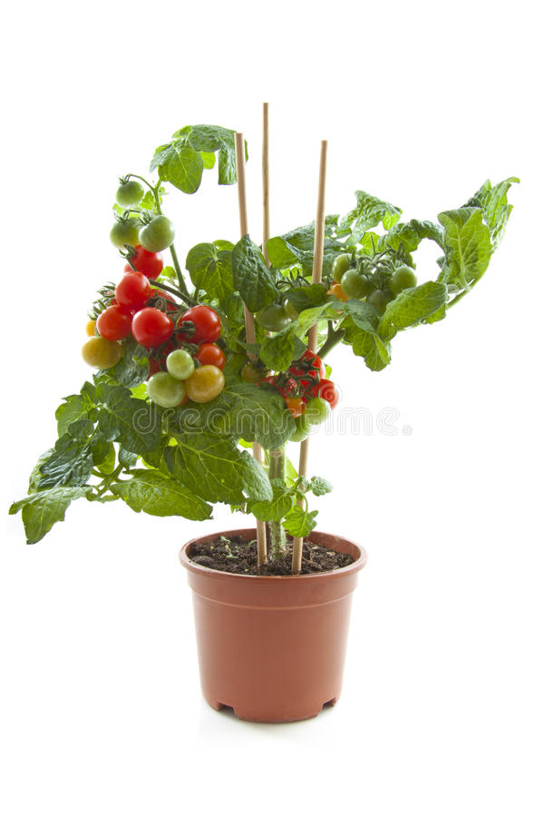 Tomato plant. Tasty cherry tomato plant in jar isolated over white royalty free stock photos