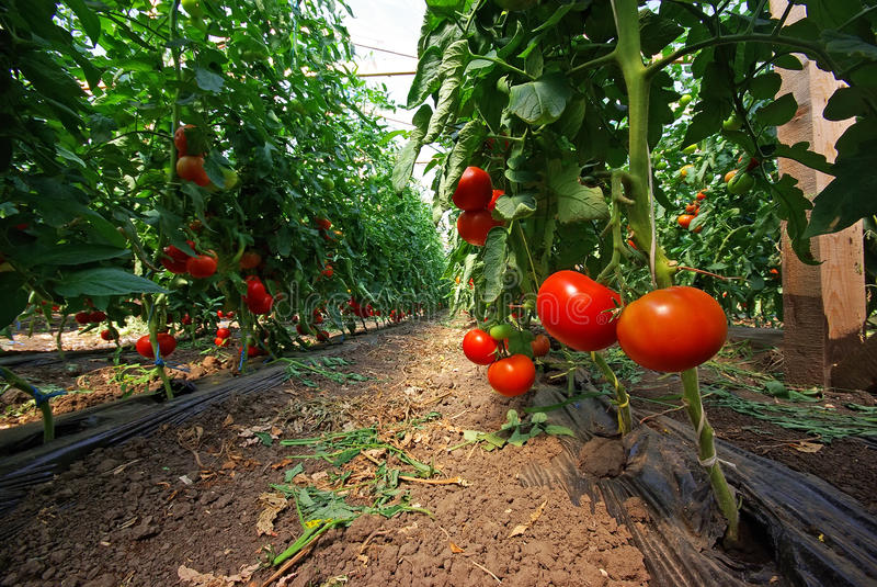 Tomato plant. In a greenhouse, close image royalty free stock image