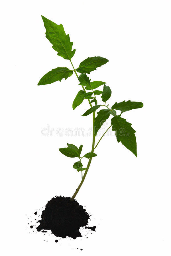 Tomato plant. Tomato plant isolated on white background stock photo
