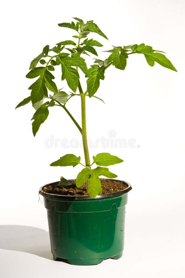 Tomato plant. In a flower pot stock photos
