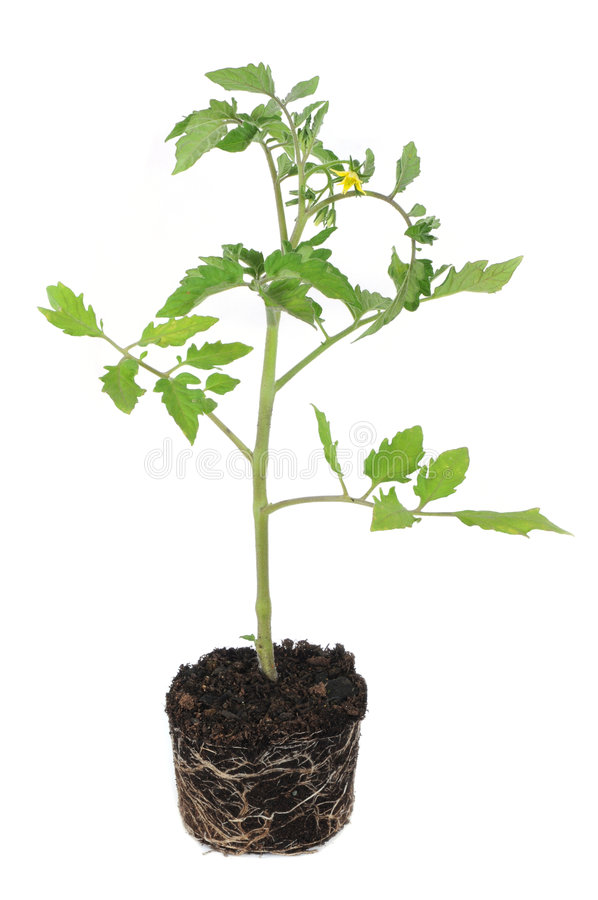 Tomato plant. Fresh young tomato plant with root ball isolated on white background royalty free stock photos