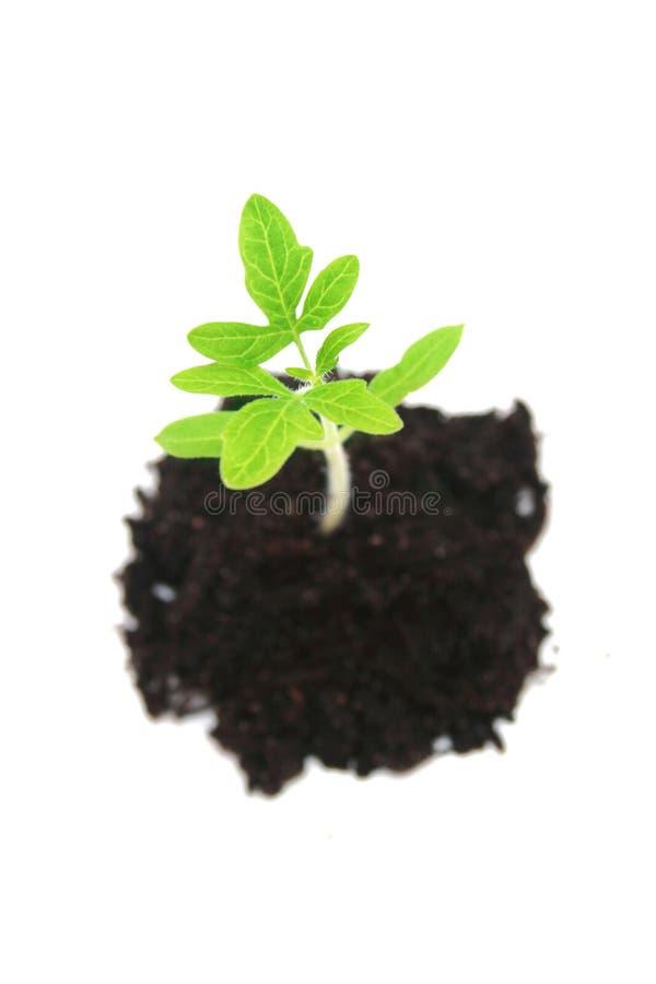 Tomato plant. royalty free stock photo