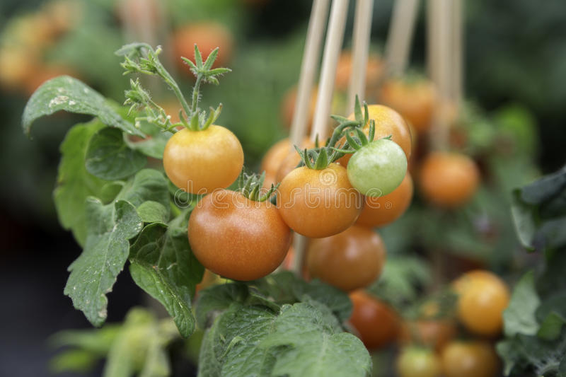Tomato Plant Close Up. With red and green tomatos royalty free stock photo